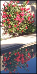 Relecting Climbing Rose in a Desert Landscape