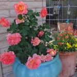 Potted Rose in Desert Garden