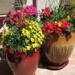 Desert Winter Potted Flowers - Late Season