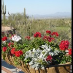 Desert Red Geraniums and Silver.potteddesert.com