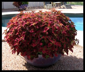 Coleus in Full Sun Desert Pot